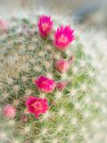 Pink Cactus Flower Arranging. The Pink Cactus Flower Arranging in The Garden royalty free stock images