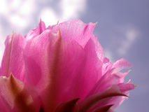Pink Cactus Flower Blue Sky. This is a pink beavertail cactus blossom as seen from slightly below and on the side of the bloom. Powder blue sky above. This is a Royalty Free Stock Photo