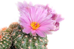 Pink cactus flower close up Stock Photos