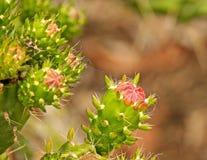 Pink cactus flower Stock Image