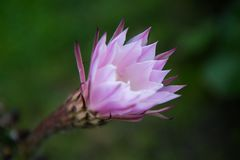 Pink cactus flower after the rain stock photos