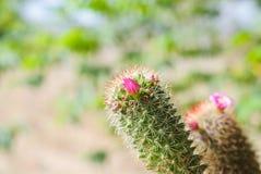 Pink Cactus Flower Royalty Free Stock Image