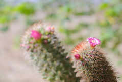 Pink Cactus Flower. In vivid bloom image stock images