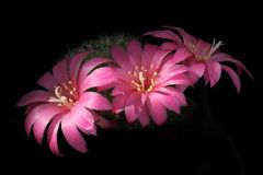 Pink cactus flowers stock photography