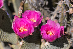 pink cactus flowers. Stock Image