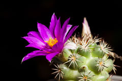 Pink cactus flowers on black Royalty Free Stock Photo