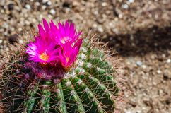 Pink cactus flowers Stock Images