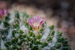 Pink flower cactus on the pebble. Pink cactus flowers. The cactus green nature in the botanical garden stock images