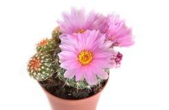 Pink cactus flowers close up Stock Photo