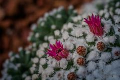 Pink flower cactus on the pebble. Pink cactus flowers. The cactus green nature in the botanical garden stock image