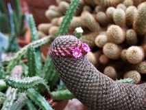 Pink Cactus Flowers. Tiny pink flowers bloom on the side of a small cactus creating what looks like two eyes stock photos