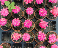Pink cactus plant in line Stock Images