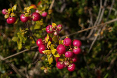 Pink calafate berries Stock Images