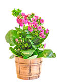 Pink Calandiva flowers in a brown vase, Kalanchoe, family Crassulaceae, close up, white background Stock Image