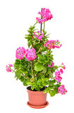 Pink Calandiva flowers in a brown vase, Kalanchoe, family Crassulaceae. Close up,  white background Royalty Free Stock Photo