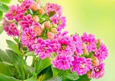 Pink Calandiva flowers, Kalanchoe, family Crassulaceae, close up, bokeh gradient background Royalty Free Stock Photos