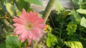 Calendula officinalis L pink color flower full view