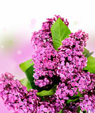 Pink calla lilies Royalty Free Stock Image