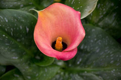 Pink Calla lily Stock Image