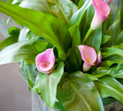 Pink calla lily (Calla rehmanii). With many leaves as floral background Royalty Free Stock Photos