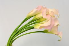 Pink calla lily flower on a white isolated background royalty free stock photography
