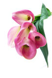 Pink callas Royalty Free Stock Photography
