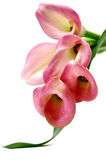 Pink Callas Bouquet Stock Image