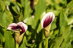 Pink callas flowers Royalty Free Stock Photography