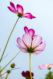 Pink calliopsis Royalty Free Stock Images