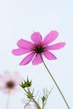 Pink calliopsis Stock Image