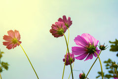 Pink calliopsis Stock Images