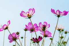Pink calliopsis Royalty Free Stock Photography
