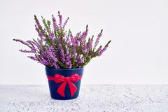Pink calluna vulgaris or common heather flowers in decorative fl. Ower pot on white background. Copy space Royalty Free Stock Photos