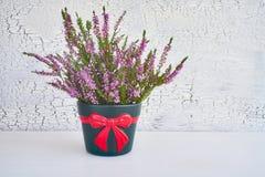 Pink calluna vulgaris or common heather flowers in flower pot. C. Pink calluna vulgaris or common heather flowers in flower pot on white background. Copy space Stock Photography