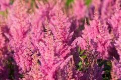 Pink Calluna vulgaris flower stock photo
