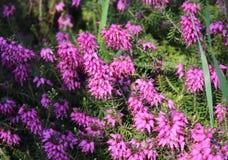 Calluna vulgaris in a garden. Pink Calluna vulgaris in a garden Stock Photography