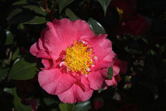 Pink Camelia Stock Photos