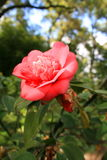 Pink Camelia Flower Royalty Free Stock Image