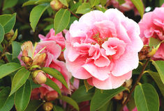 Pink camelia flower Stock Photography
