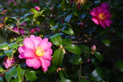 Pink camelia japonica flower in bloom Stock Photography