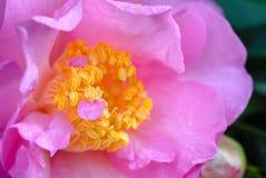 Pink camellia. Macro of a pink camellia petals Stock Image