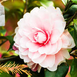 Pink camellia blooming in the spring Royalty Free Stock Photos