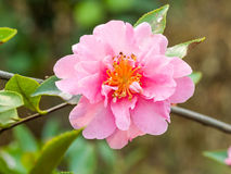 Pink camellia blooming in the spring Stock Photos
