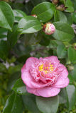Pink camellia blooming Stock Photography