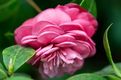 Pink camellia blossom. Blossom of pink camellia Camellia japonica flower. Camellia flower background. Shallow DOF, selective focus, close-up shot. Side view royalty free stock image