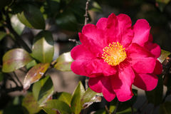 Pink Camellia Blossom. Closeup of a pink camellia bloom; known as tsubaki in Japan, these culturally important flowers bloom in winter stock photo