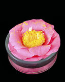 Pink camellia blossom Stock Image