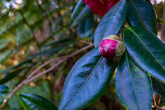 Pink camellia bud with lush foliage on the background. Bright pink camellia bud with lush foliage on the background. Camellia Japonica flower Stock Photography