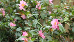 Pink Camellia Bush. Evergreen camellia plant with beautiful pink flowers gently blowing in the breeze on a winter day in Oregon stock video