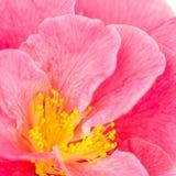 Pink camellia closeup Stock Image